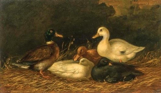 Domestic Ducks