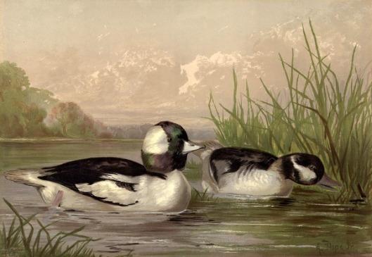 Buffle-Headed Duck