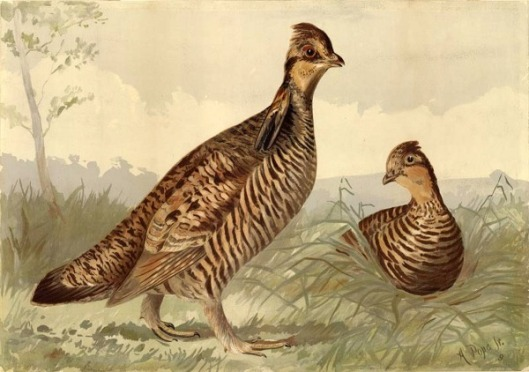 Pinnated Grouse