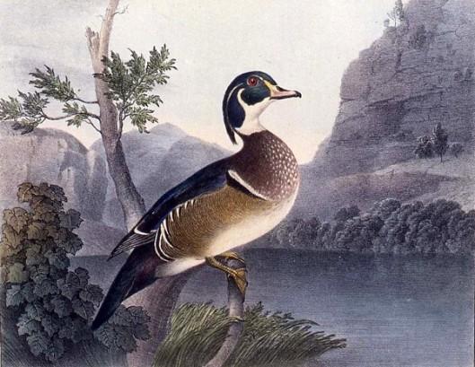 Summer Duck