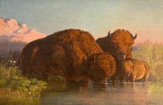 Buffalo Drinking